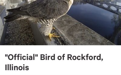 """Official"" Bird for Rockford?"