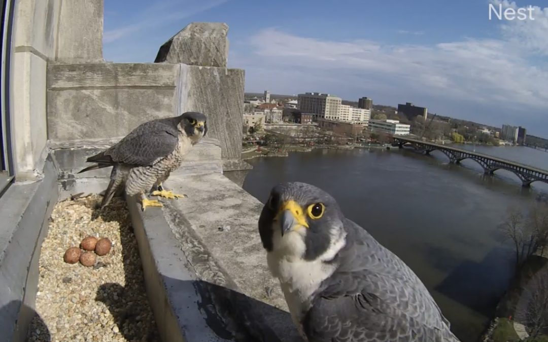 Peregrine Falcon Naming Contest