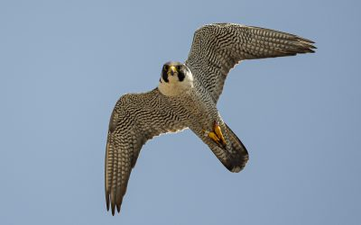 Rockford Names the Peregrine Falcon its Official City Bird